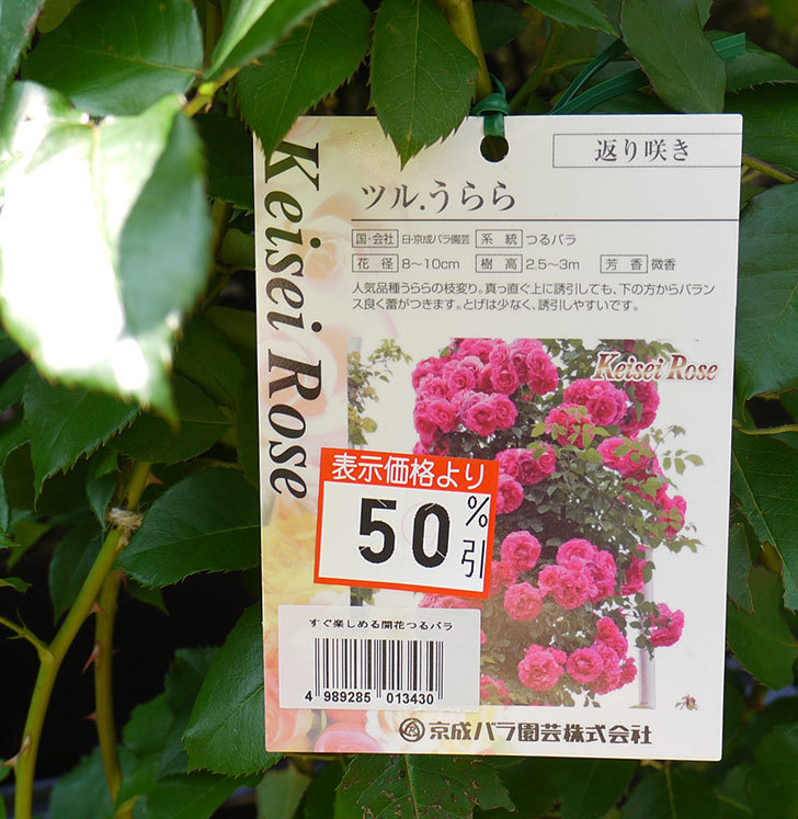 ツルうらら(ツルバラ)の開花株買って来た。2016年-3.jpg