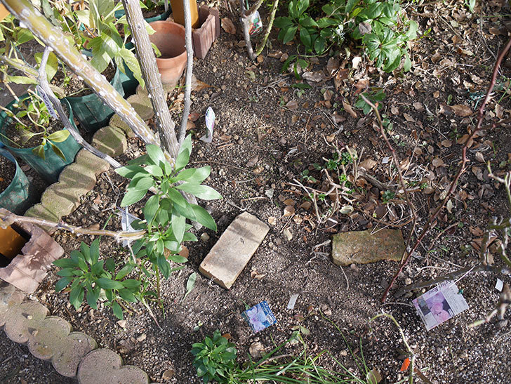 ツルうらら(Urara Climbing)に寒肥を施した。ツルバラ。2021年-001.jpg