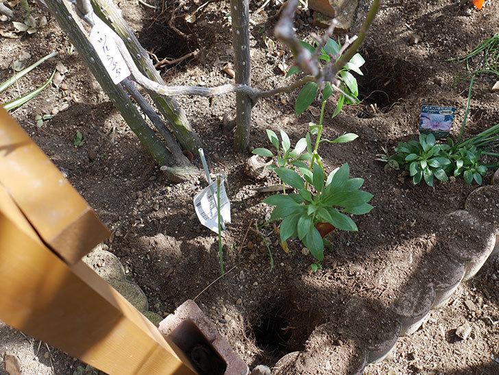 ツルうらら(Urara Climbing)に寒肥を施した。ツルバラ。2021年-003.jpg