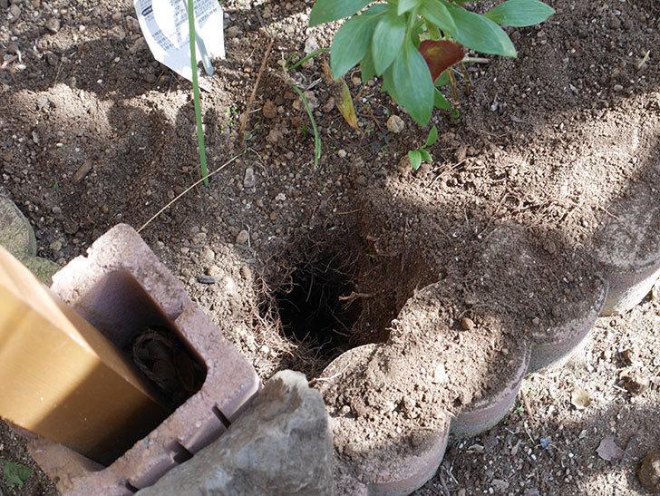 ツルうらら(Urara Climbing)に寒肥を施した。ツルバラ。2021年-004.jpg