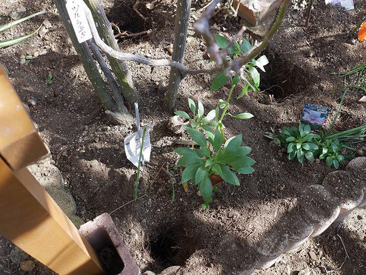 ツルうらら(Urara Climbing)に寒肥を施した。ツルバラ。2021年-005.jpg