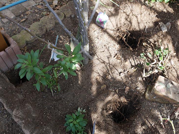 ツルうらら(Urara Climbing)に寒肥を施した。ツルバラ。2021年-006.jpg