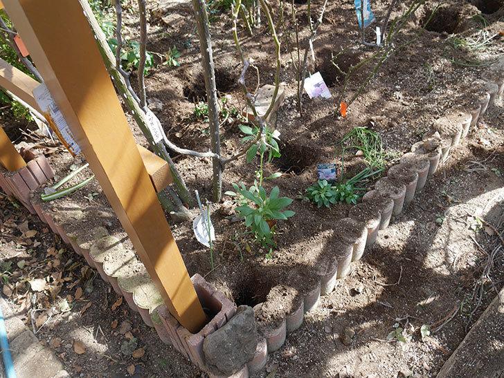 ツルうらら(Urara Climbing)に寒肥を施した。ツルバラ。2021年-010.jpg
