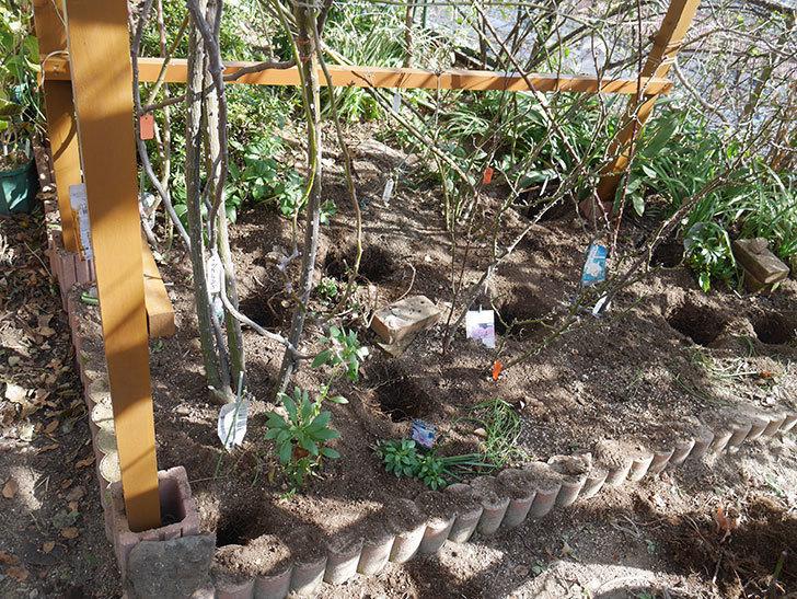 ツルうらら(Urara Climbing)に寒肥を施した。ツルバラ。2021年-011.jpg