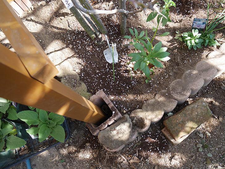 ツルうらら(Urara Climbing)に寒肥を施した。ツルバラ。2021年-012.jpg
