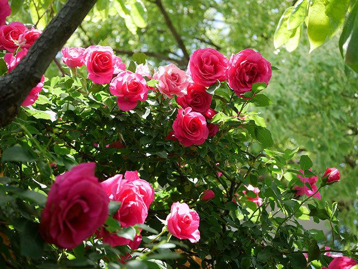 ツルうらら(Urara Climbing)に枝変わりの花が咲いた。ツルバラ。2021年-012.jpg