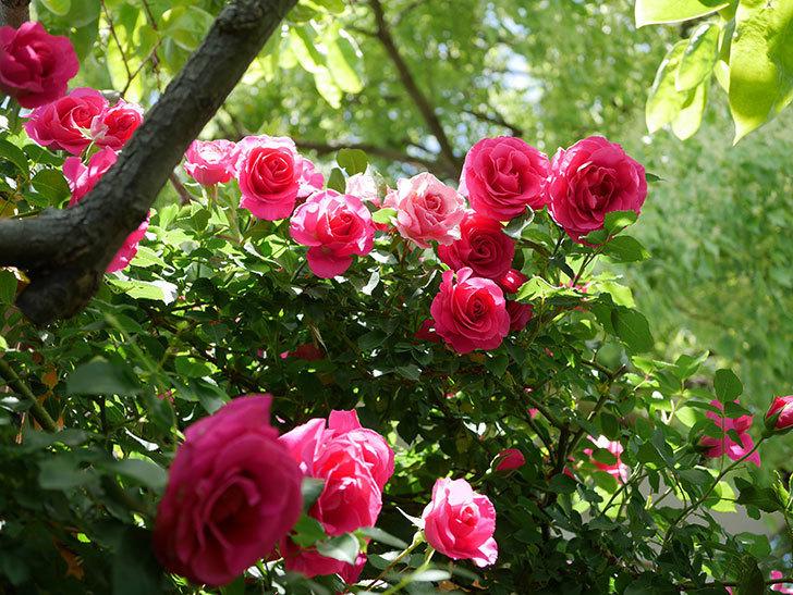 ツルうらら(Urara Climbing)に枝変わりの花が咲いた。ツルバラ。2021年-013.jpg