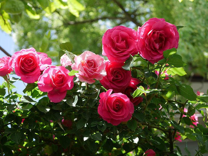 ツルうらら(Urara Climbing)に枝変わりの花が咲いた。ツルバラ。2021年-014.jpg