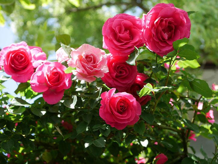 ツルうらら(Urara Climbing)に枝変わりの花が咲いた。ツルバラ。2021年-015.jpg