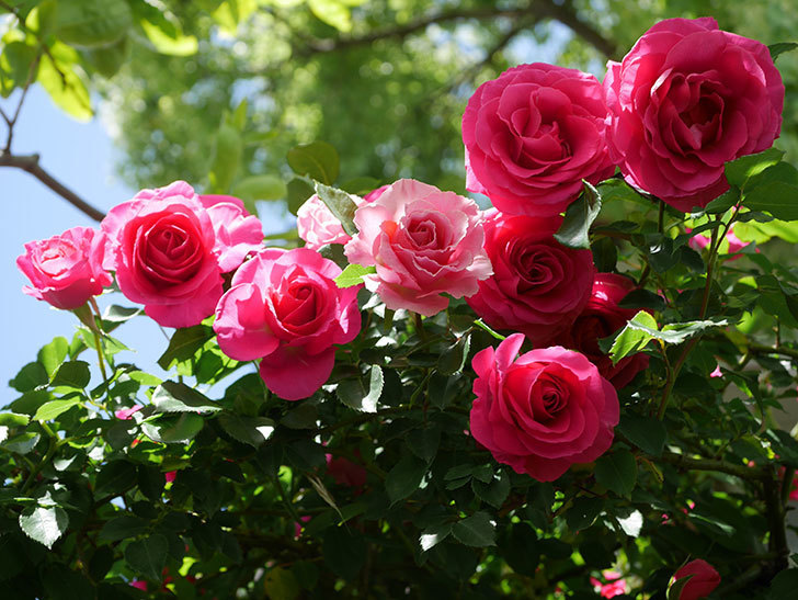 ツルうらら(Urara Climbing)に枝変わりの花が咲いた。ツルバラ。2021年-016.jpg