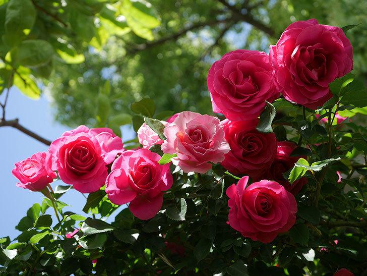 ツルうらら(Urara Climbing)に枝変わりの花が咲いた。ツルバラ。2021年-017.jpg