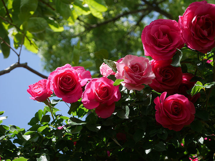 ツルうらら(Urara Climbing)に枝変わりの花が咲いた。ツルバラ。2021年-018.jpg