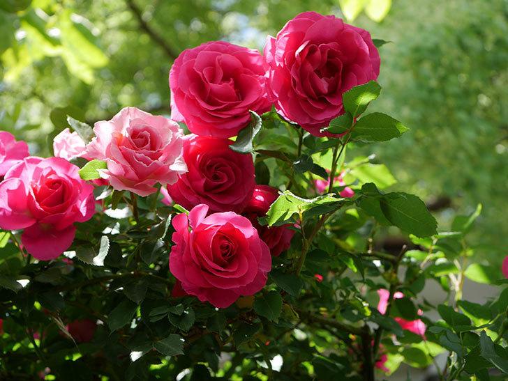 ツルうらら(Urara Climbing)に枝変わりの花が咲いた。ツルバラ。2021年-020.jpg