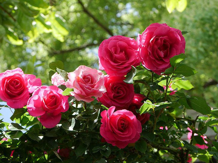 ツルうらら(Urara Climbing)に枝変わりの花が咲いた。ツルバラ。2021年-021.jpg