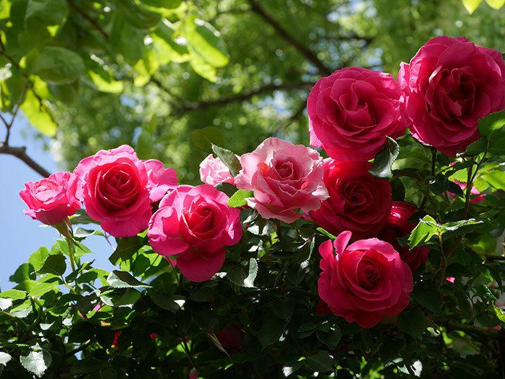 ツルうらら(Urara Climbing)に枝変わりの花が咲いた。ツルバラ。2021年-022.jpg