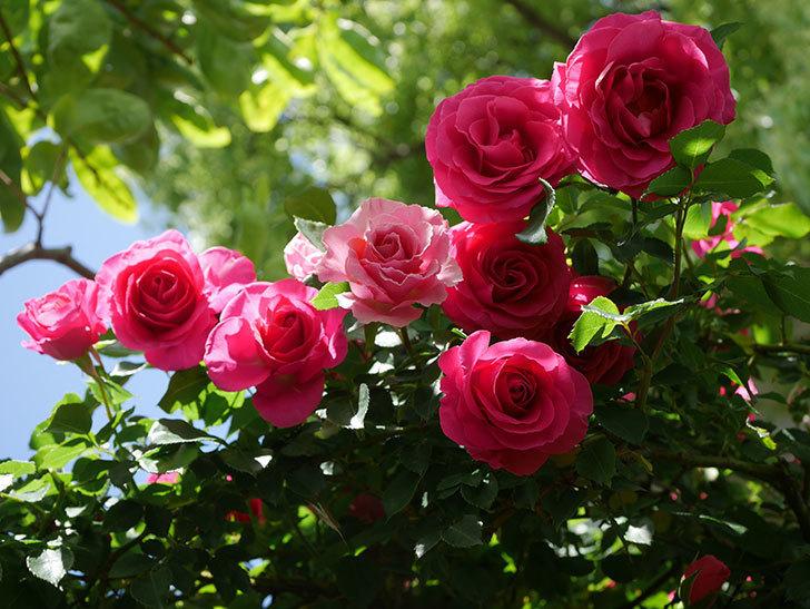 ツルうらら(Urara Climbing)に枝変わりの花が咲いた。ツルバラ。2021年-024.jpg