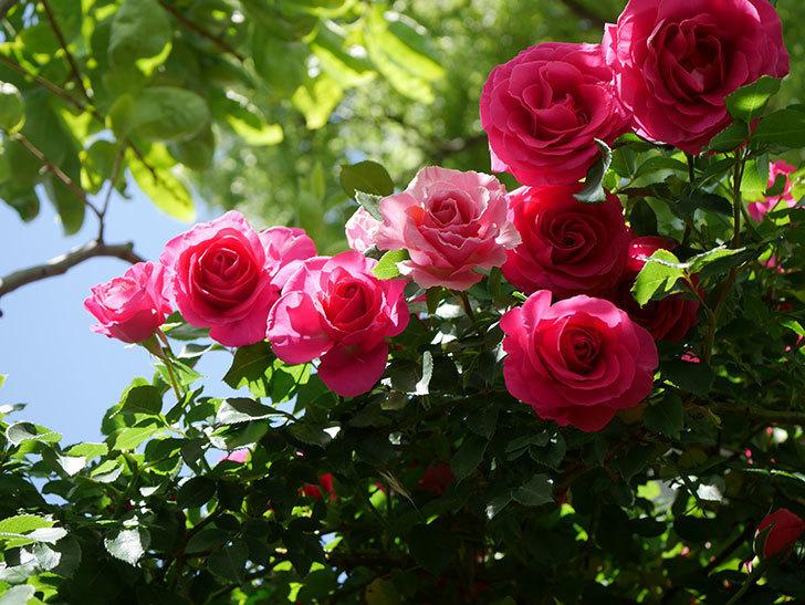 ツルうらら(Urara Climbing)に枝変わりの花が咲いた。ツルバラ。2021年-025.jpg