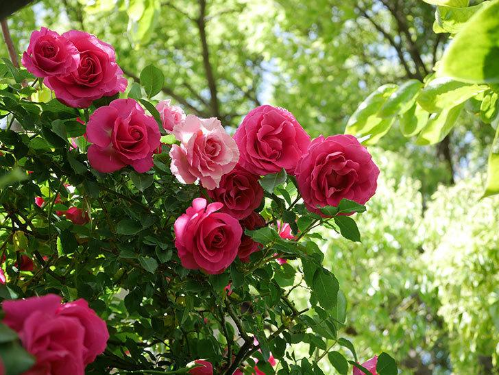 ツルうらら(Urara Climbing)に枝変わりの花が咲いた。ツルバラ。2021年-026.jpg