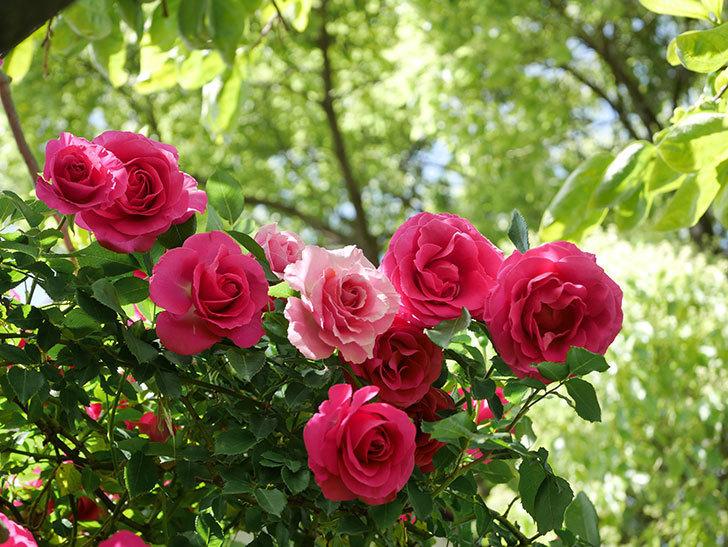 ツルうらら(Urara Climbing)に枝変わりの花が咲いた。ツルバラ。2021年-027.jpg