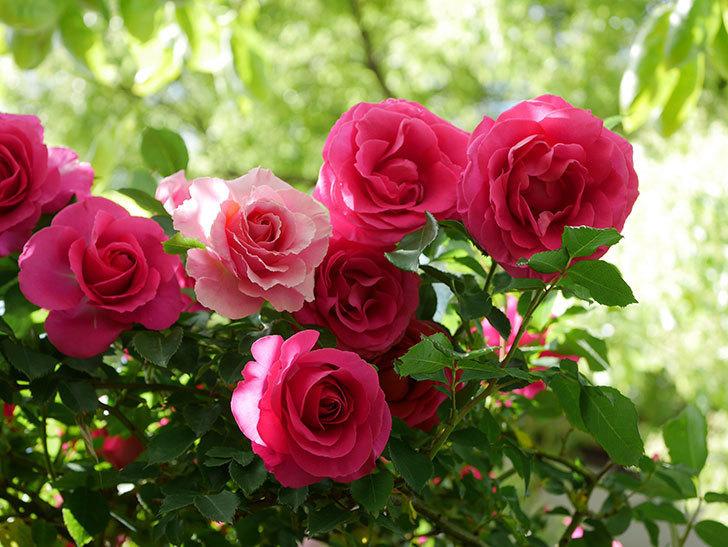 ツルうらら(Urara Climbing)に枝変わりの花が咲いた。ツルバラ。2021年-029.jpg
