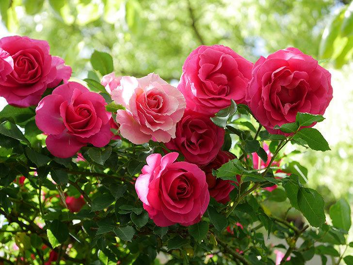 ツルうらら(Urara Climbing)に枝変わりの花が咲いた。ツルバラ。2021年-030.jpg