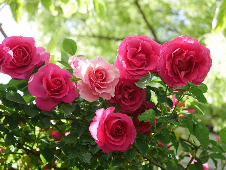 ツルうらら(Urara Climbing)に枝変わりの花が咲いた。ツルバラ。2021年-031.jpg