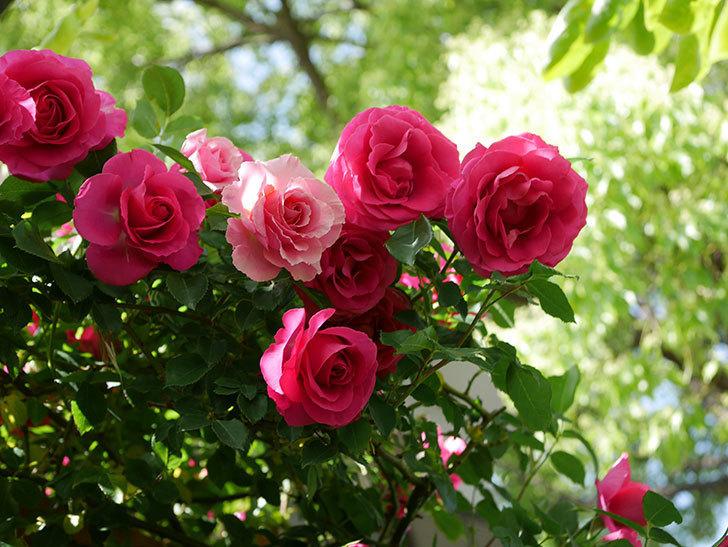 ツルうらら(Urara Climbing)に枝変わりの花が咲いた。ツルバラ。2021年-032.jpg