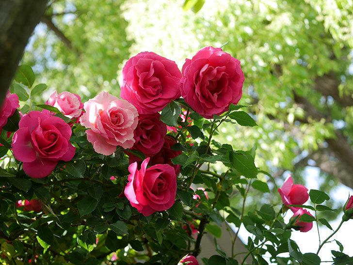 ツルうらら(Urara Climbing)に枝変わりの花が咲いた。ツルバラ。2021年-033.jpg