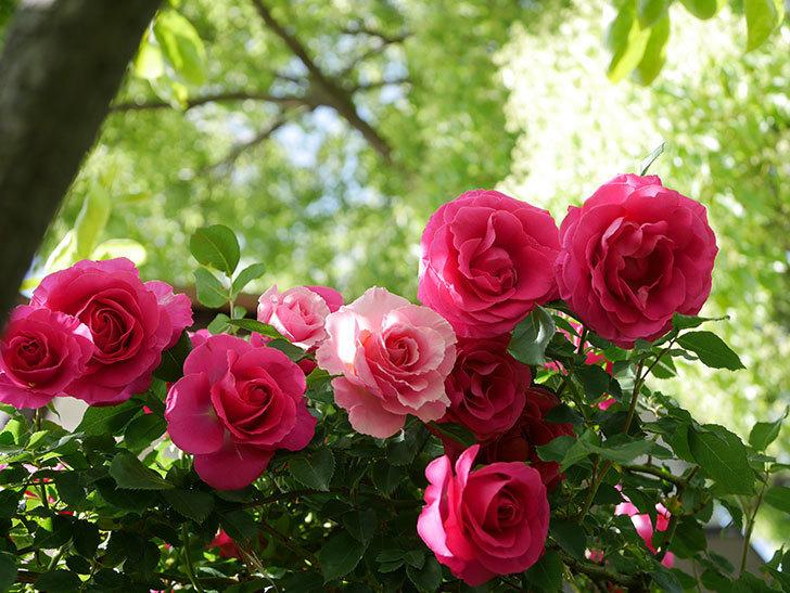 ツルうらら(Urara Climbing)に枝変わりの花が咲いた。ツルバラ。2021年-034.jpg