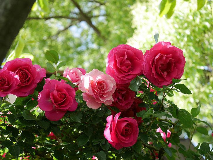ツルうらら(Urara Climbing)に枝変わりの花が咲いた。ツルバラ。2021年-035.jpg