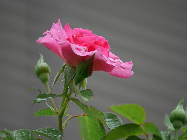 ツルうらら(Urara Climbing)の2番花が咲いた。ツルバラ。2020年-001.jpg