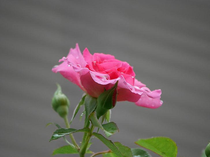 ツルうらら(Urara Climbing)の2番花が咲いた。ツルバラ。2020年-002.jpg