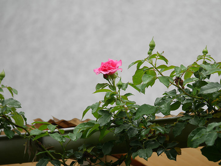 ツルうらら(Urara Climbing)の2番花が咲いた。ツルバラ。2020年-003.jpg