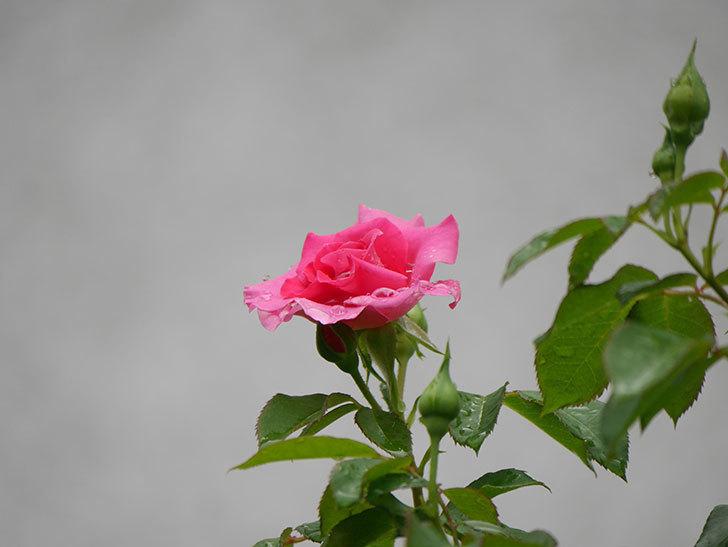 ツルうらら(Urara Climbing)の2番花が咲いた。ツルバラ。2020年-004.jpg