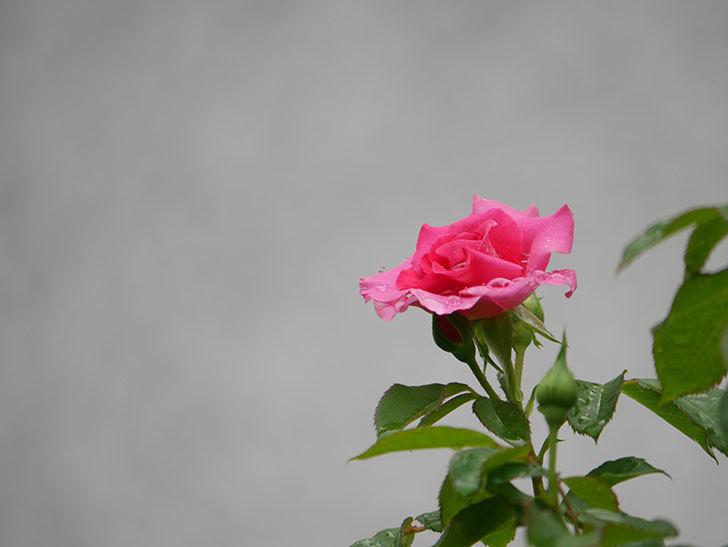 ツルうらら(Urara Climbing)の2番花が咲いた。ツルバラ。2020年-005.jpg