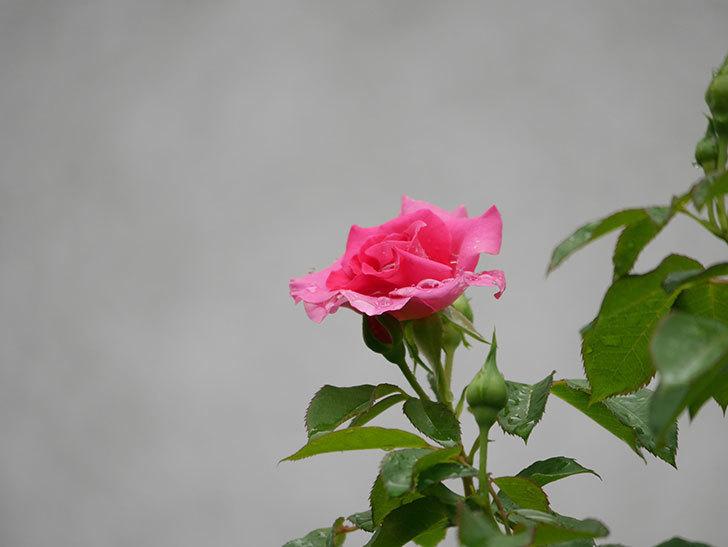 ツルうらら(Urara Climbing)の2番花が咲いた。ツルバラ。2020年-006.jpg