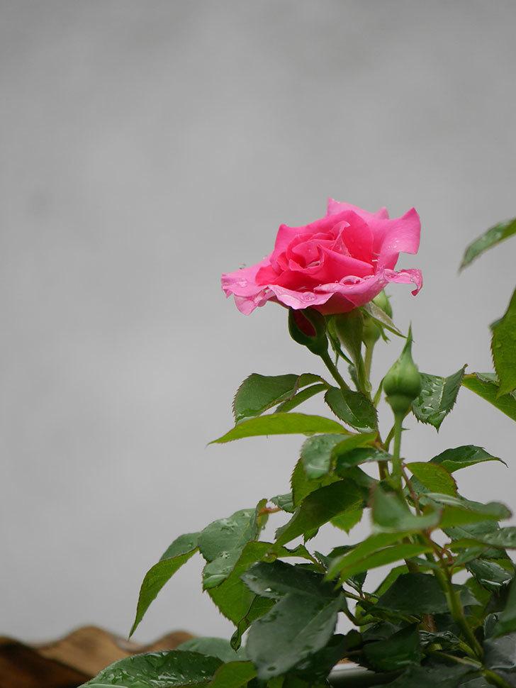 ツルうらら(Urara Climbing)の2番花が咲いた。ツルバラ。2020年-007.jpg