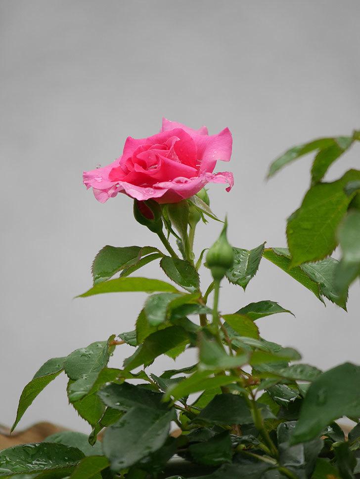 ツルうらら(Urara Climbing)の2番花が咲いた。ツルバラ。2020年-008.jpg