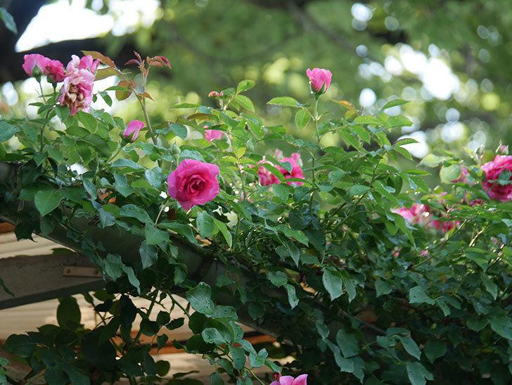 ツルうらら(Urara Climbing)の2番花が増えてきた。ツルバラ。2020年-001.jpg