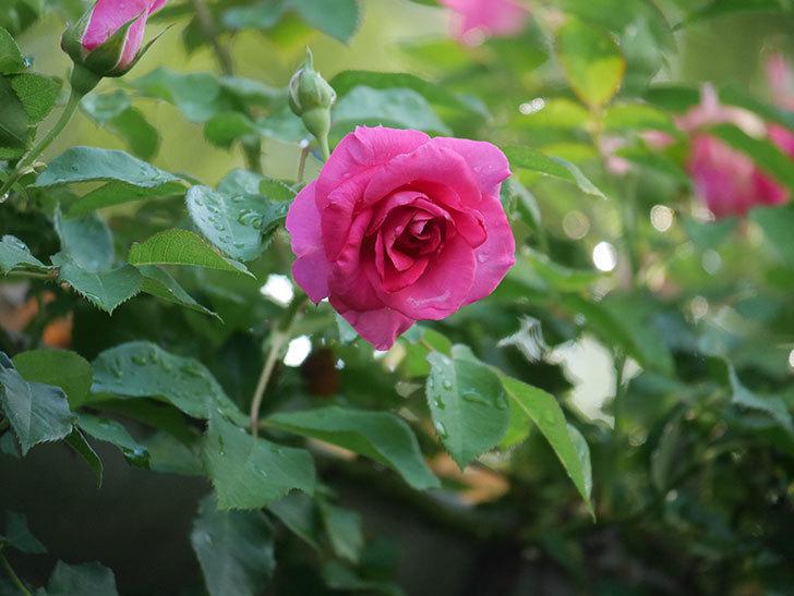 ツルうらら(Urara Climbing)の2番花が増えてきた。ツルバラ。2020年-004.jpg