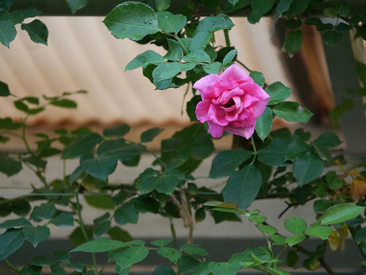 ツルうらら(Urara Climbing)の2番花が増えてきた。ツルバラ。2020年-010.jpg