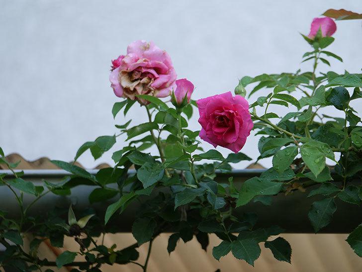 ツルうらら(Urara Climbing)の2番花が増えてきた。ツルバラ。2020年-011.jpg