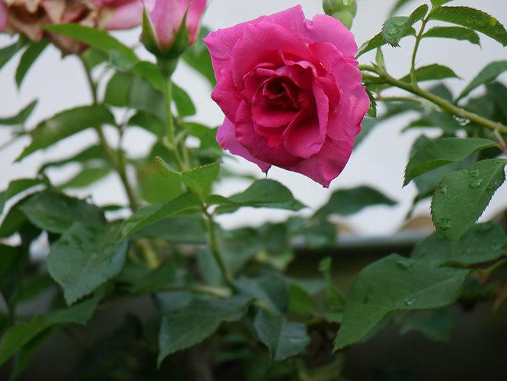 ツルうらら(Urara Climbing)の2番花が増えてきた。ツルバラ。2020年-015.jpg