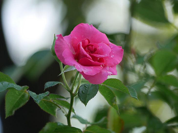 ツルうらら(Urara Climbing)の2番花が増えてきた。ツルバラ。2020年-019.jpg