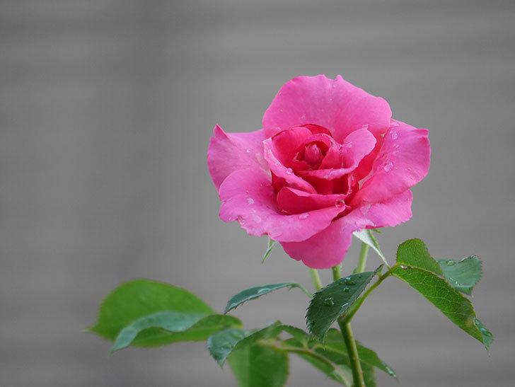 ツルうらら(Urara Climbing)の2番花が増えてきた。ツルバラ。2020年-021.jpg