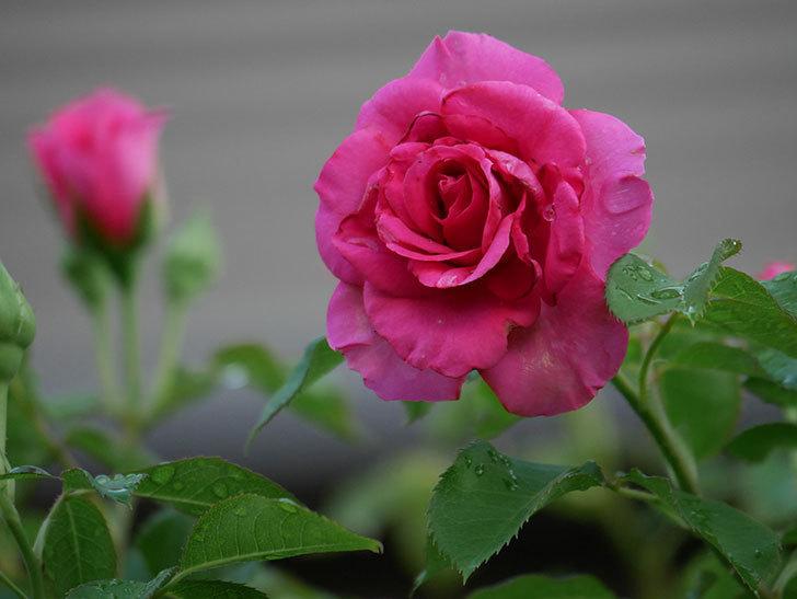ツルうらら(Urara Climbing)の2番花が増えてきた。ツルバラ。2020年-022.jpg