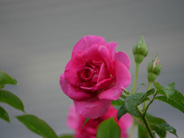 ツルうらら(Urara Climbing)の2番花が増えてきた。ツルバラ。2020年-023.jpg