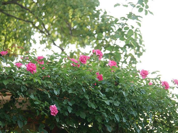 ツルうらら(Urara Climbing)の2番花が増えてきた。ツルバラ。2020年-028.jpg