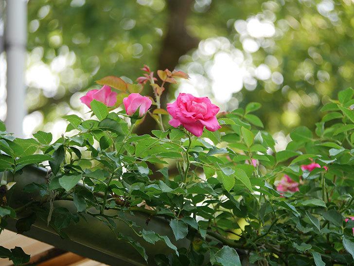 ツルうらら(Urara Climbing)の2番花が増えてきた。ツルバラ。2020年-029.jpg