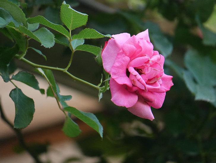 ツルうらら(Urara Climbing)の2番花が増えてきた。ツルバラ。2020年-031.jpg